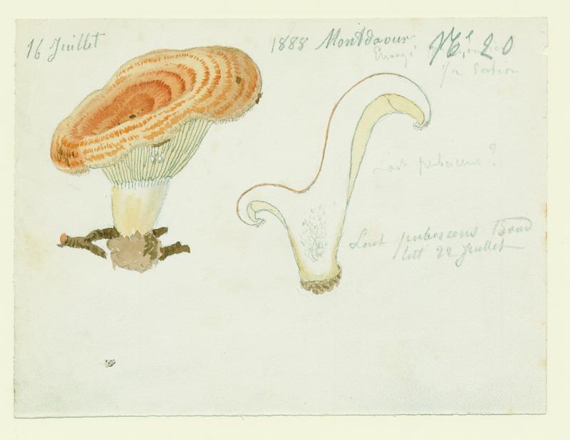 BARLA Jean-Baptiste (attribué à) : Lactaire pubescent, champignon
