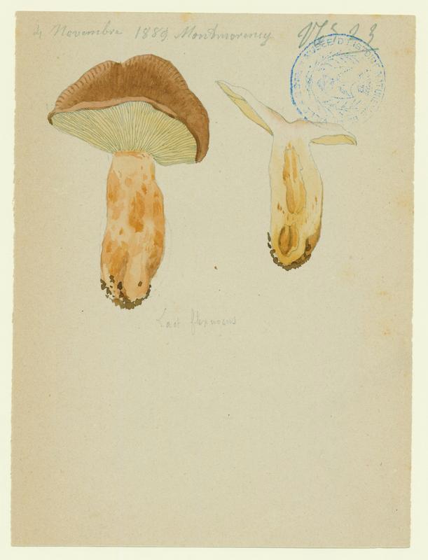 Lactaire flexueux ; champignon_0