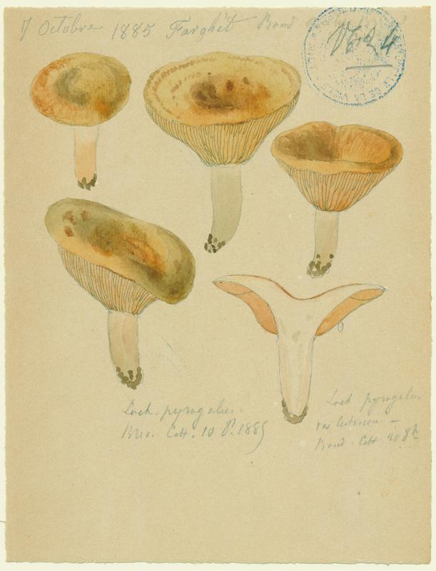 Lactaire à lait brûlant ; champignon