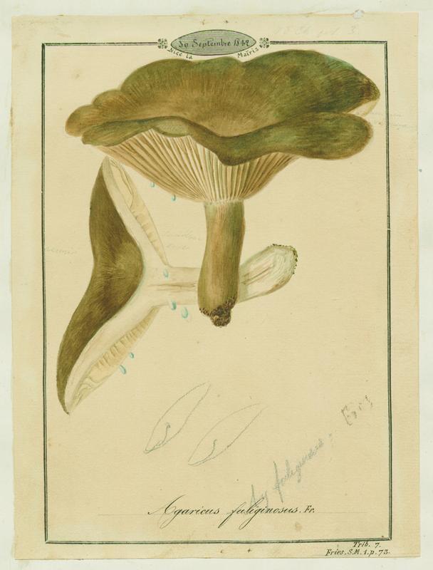 Lactaire fuligineux ; champignon_0