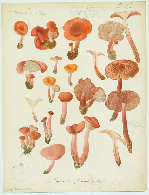 Lactaire ; champignon_0