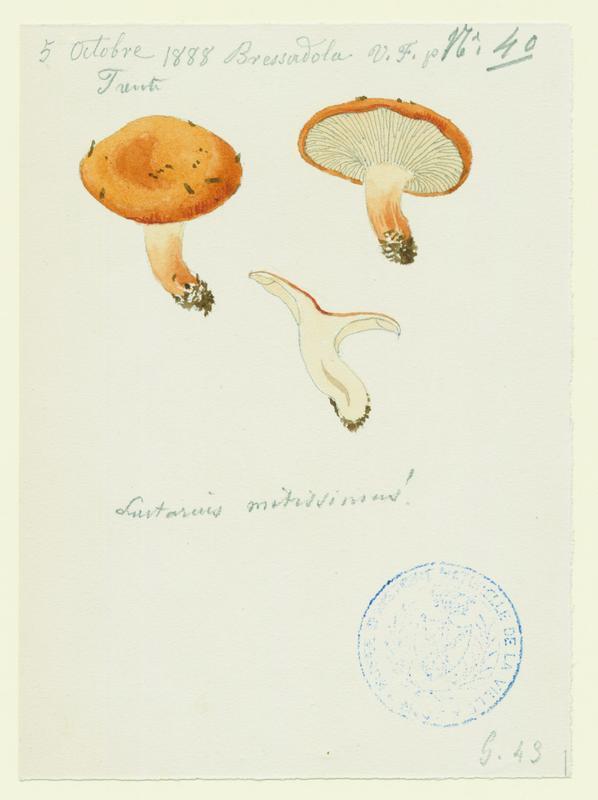 Lactaire très doux ; champignon_0