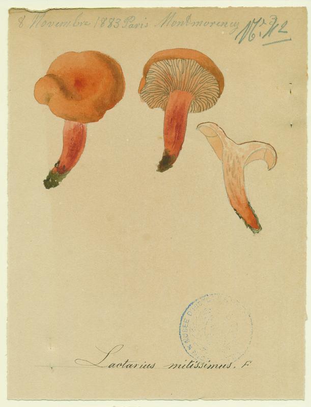 Lactaire orangé ; champignon_0