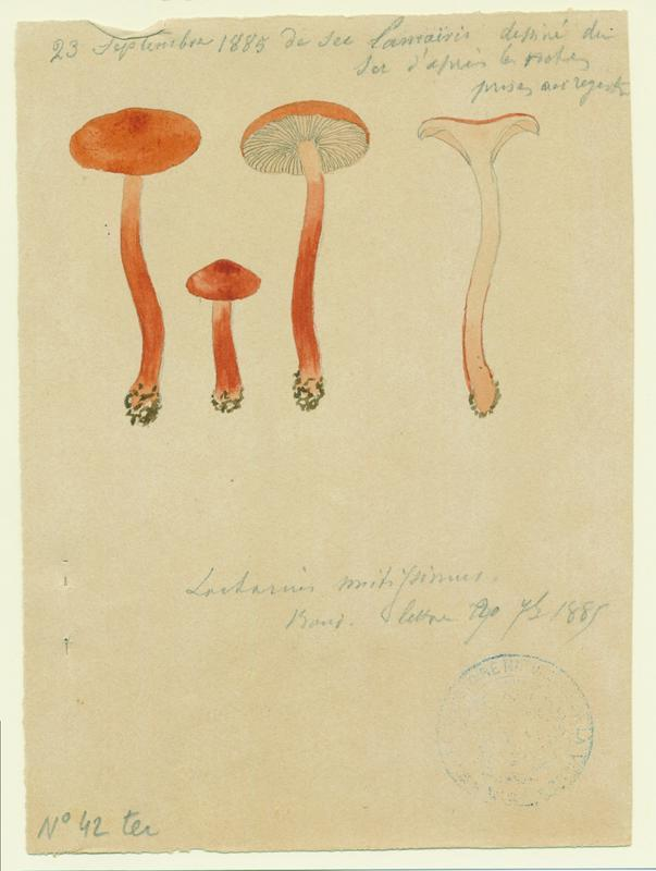 Lactaire orangé ; champignon