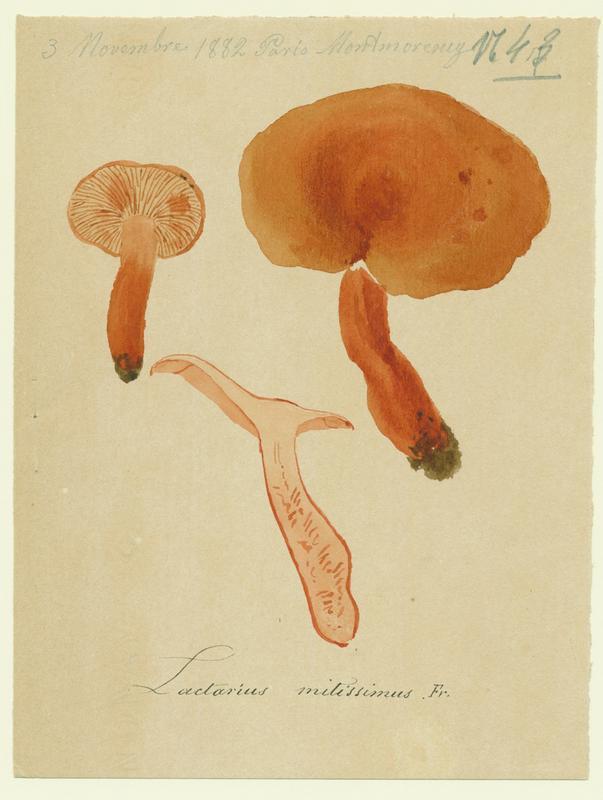 BARLA Jean-Baptiste (attribué à) : Lactaire orangé, champignon
