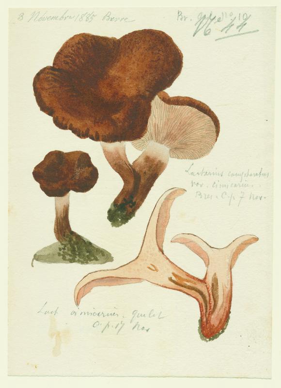 Lactaire à odeur de chicorée ; Lactaire camphré ; champignon
