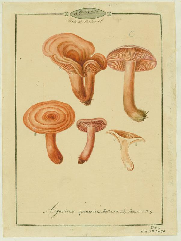 BARLA Jean-Baptiste (attribué à) : Lactaire zoné, champignon
