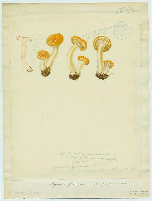 Agaric ; Sanguin rous ; champignon_0