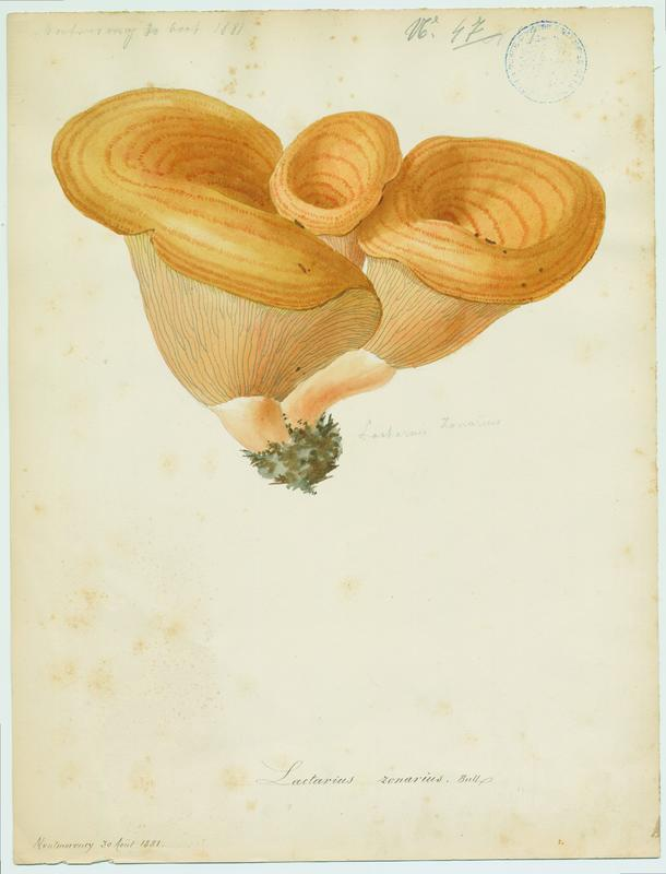 Lactaire zoné ; champignon_0