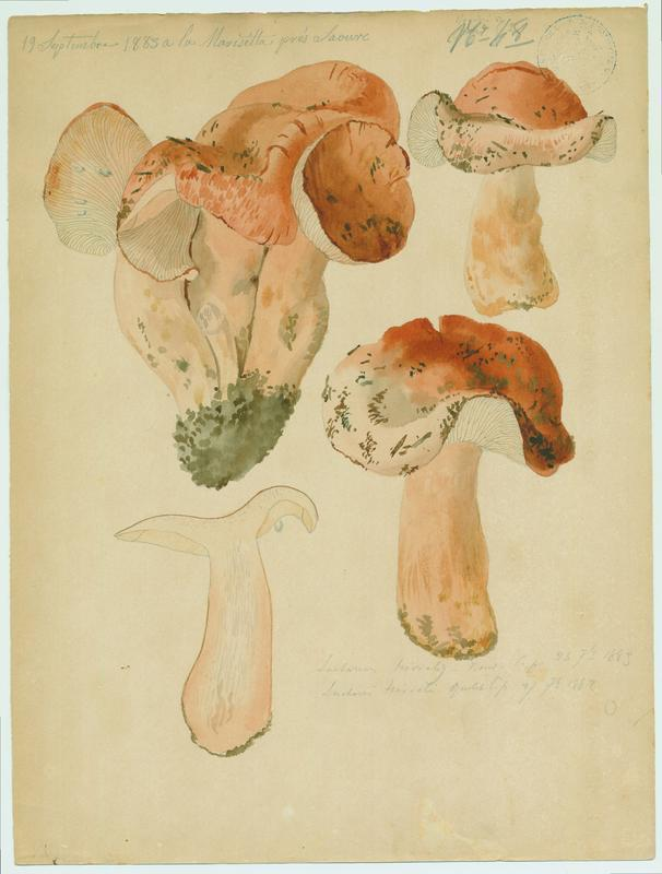 Lactaire trivial ; champignon_0