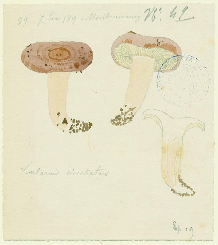 Lactaire cerclé ; champignon_0