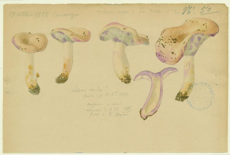Lactaire humide ; champignon_0