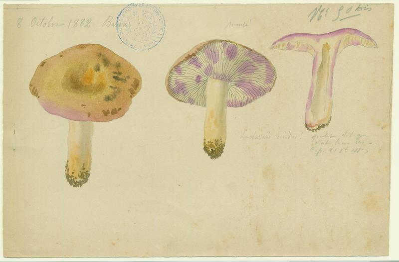 BARLA Jean-Baptiste (attribué à) : Lactaire humide, champignon