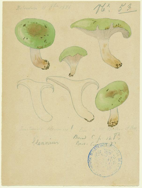 Lactaire muqueux ; champignon
