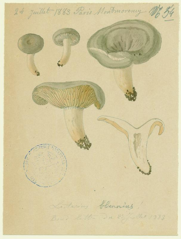 Lactaire muqueux ; champignon_0
