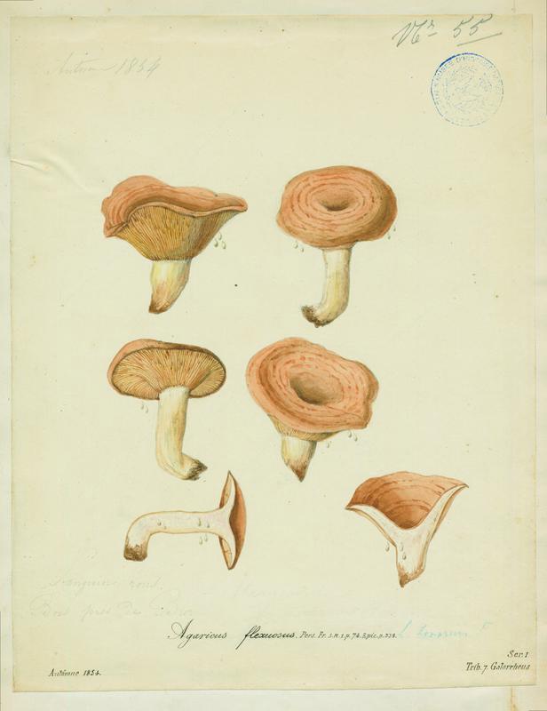 BARLA Jean-Baptiste (attribué à) : Agaric, Sanguin rous, champignon