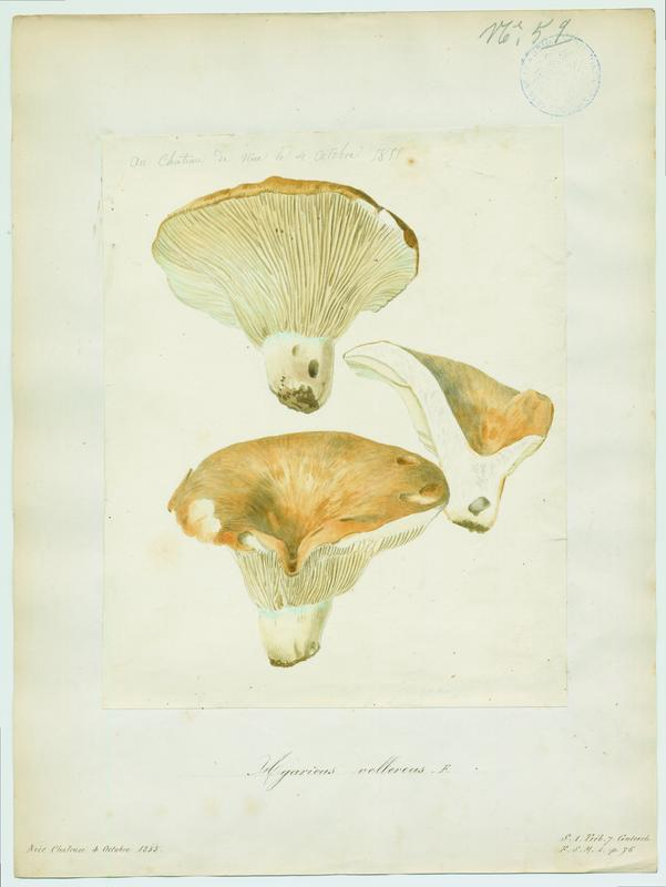 BARLA Jean-Baptiste (attribué à) : Lactaire velouté, champignon