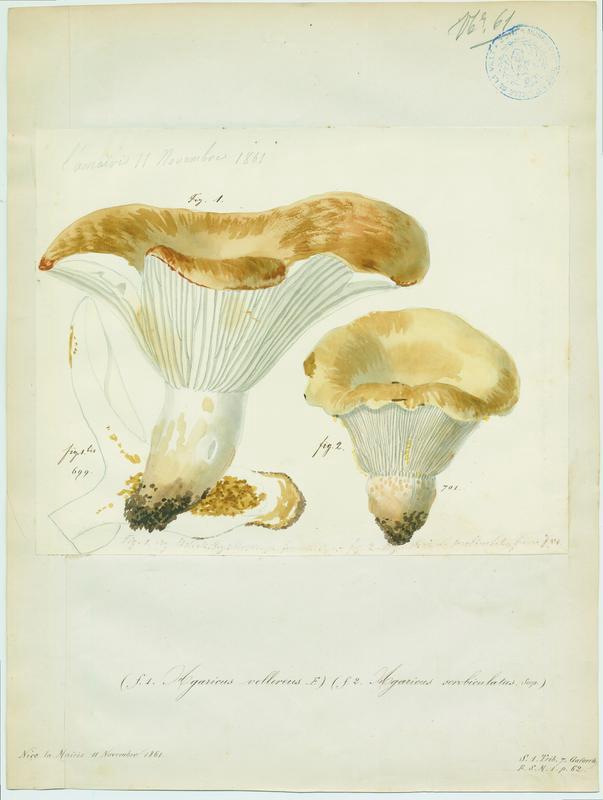 Lactaire à fossettes ; champignon