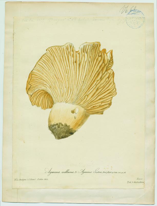 Lactaire velouté ; champignon_0