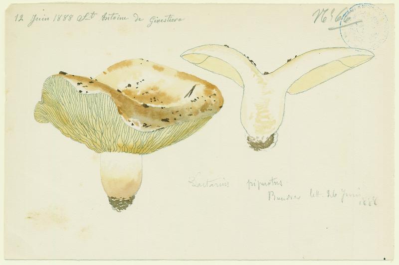 Lactaire poivré ; champignon_0