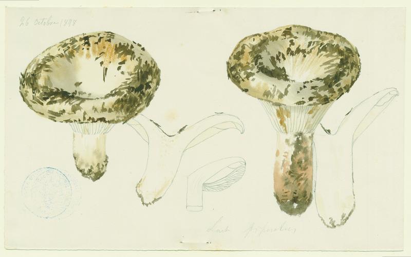 BARLA Jean-Baptiste (attribué à) : Lactaire poivré, champignon