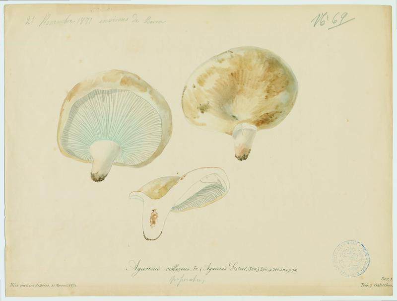 Lactaire velouté ; champignon