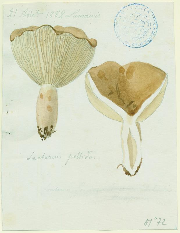 BARLA Jean-Baptiste (attribué à) : Lactaire pâle, champignon
