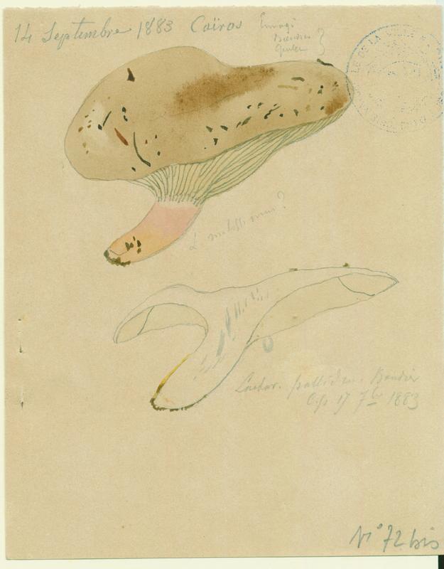 Lactaire pâle ; champignon