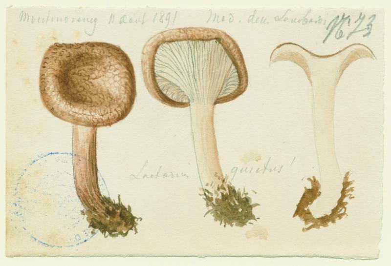 Lactaire à odeur de punaise ; champignon