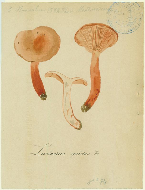 Lactaire à odeur de punaise ; champignon_0
