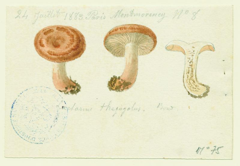 Lactaire à lait jaunissant ; champignon