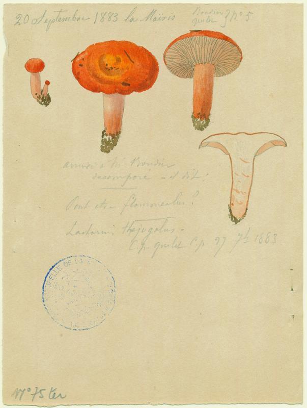 BARLA Jean-Baptiste (attribué à) : Lactaire à lait jaunissant, champignon