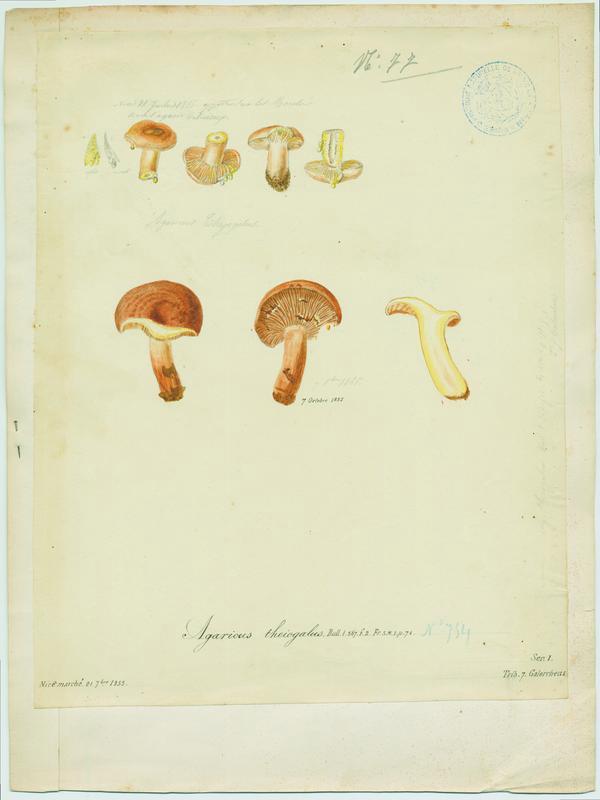 Lactaire à lait jaune d'or ; champignon