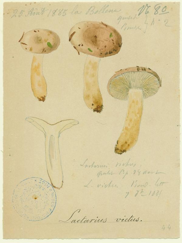 BARLA Jean-Baptiste (attribué à) : Lactaire fané, champignon