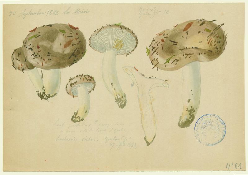 Lactaire fané ; champignon_0