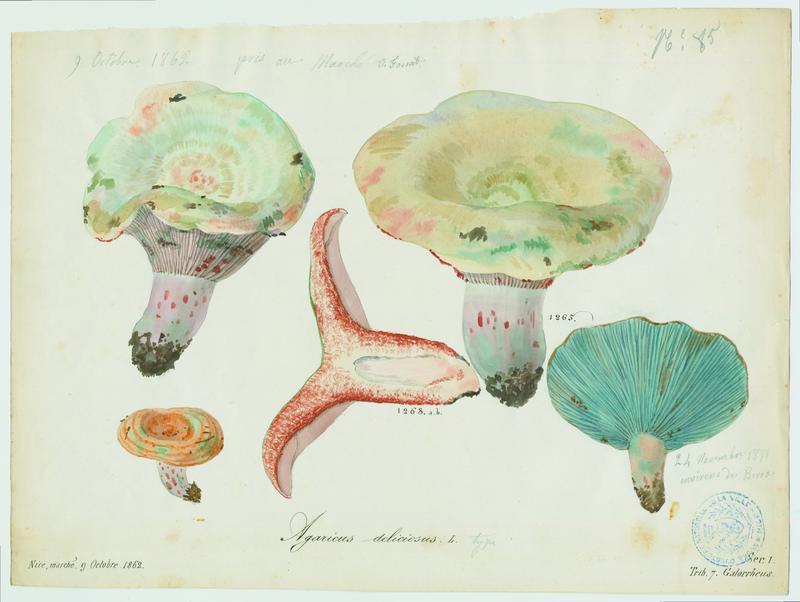 FOSSAT Vincent (aquarelliste, peintre) : Lactaire délicieux, champignon