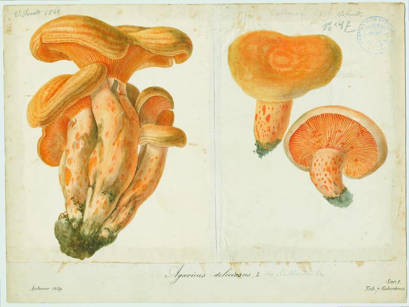 Lactaire délicieux ; champignon