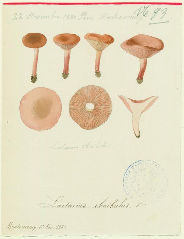 BARLA Jean-Baptiste (attribué à) : Lactaire olivâtre, champignon