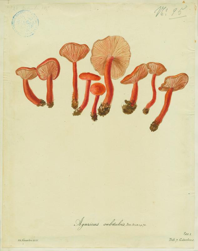 Lactaire caoutchouc ; champignon_0