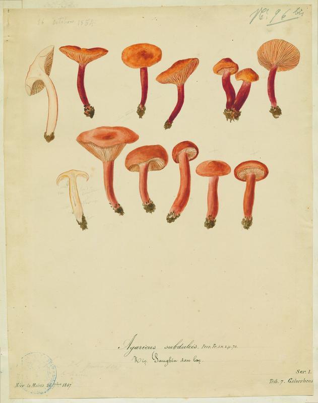 BARLA Jean-Baptiste (attribué à) : Lactaire caoutchouc, Sanghin dau lac, champignon