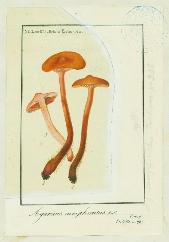 Lactaire à odeur de chicorée ; Lactaire camphré ; champignon_0