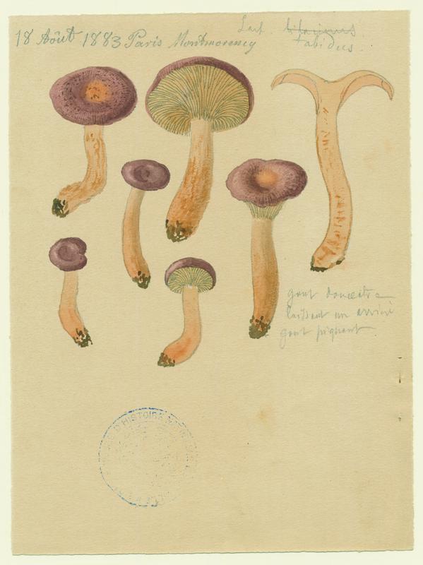 BARLA Jean-Baptiste (attribué à) : Lactaire chiffonné, champignon