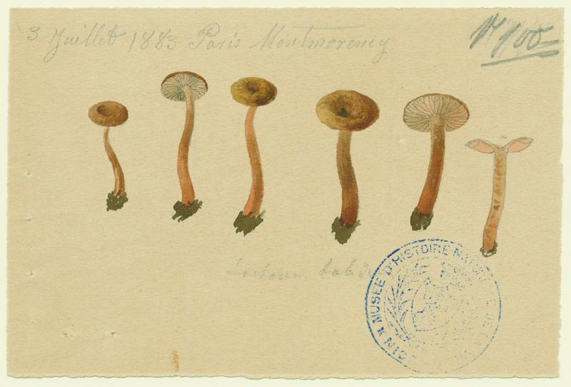 Lactaire chiffonné ; champignon_0