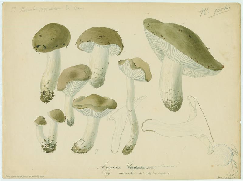 Agaric ; Lera caniglia ; champignon