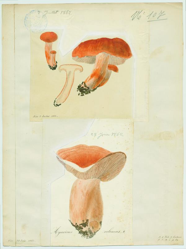 BARLA Jean-Baptiste (attribué à) : Lactaire à lait abondant, champignon