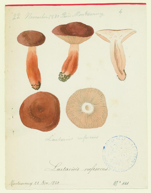 Lactaire roussissant (?) ; champignon