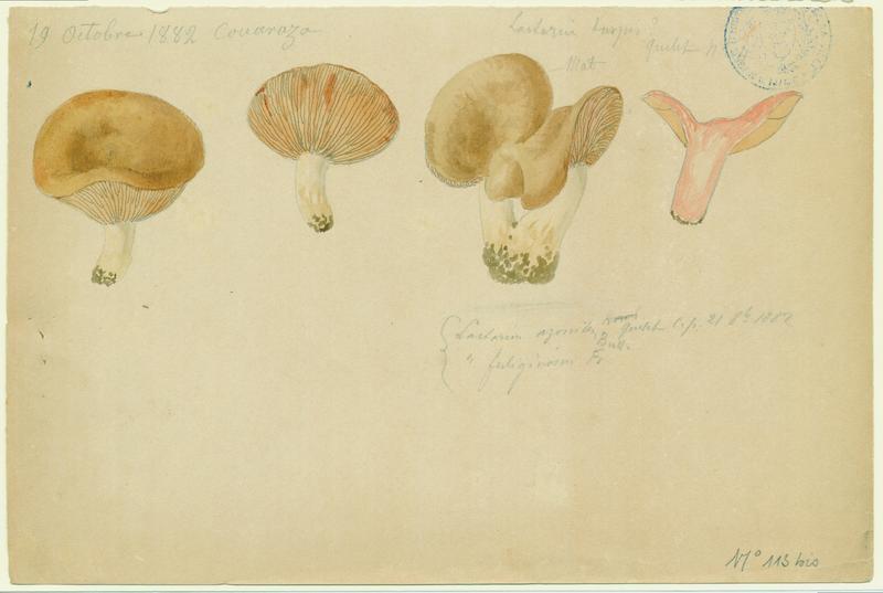 Lactaire à pied blanc ; champignon_0