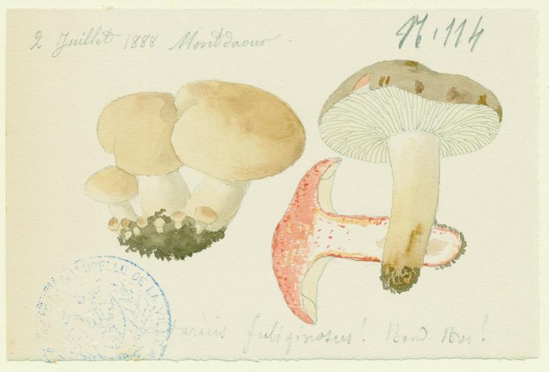 BARLA Jean-Baptiste (attribué à) : Lactaire fuligineux, champignon
