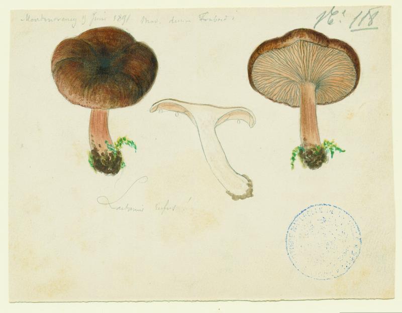 Lactaire roux ; champignon