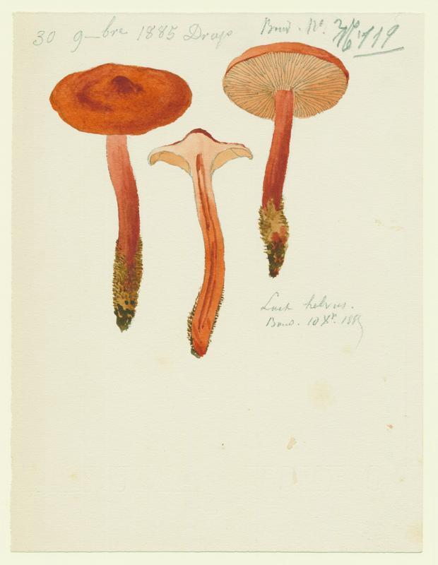 Lactaire à odeur de céleri ; champignon